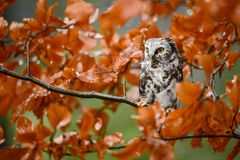 Tengmalm`s Owl - Aegolius funereus Royalty Free Stock Photos