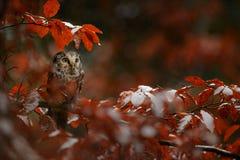 Tengmalm`s Owl - Aegolius funereus Stock Photos
