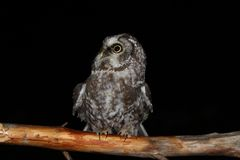 Tengmalm's owl. A Tengmalm's owl assessing its possibilities Royalty Free Stock Photo