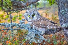 Tengmalm's owl near nest. Bird of Minerva. Tengmalm's owl (Aegolius funereus) near nest. Boreal coniferous forest (taiga), on background of Labrador tea Royalty Free Stock Photos