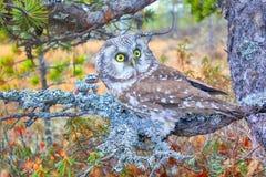 Tengmalm's owl near nest. Bird of Minerva. Tengmalm's owl (Aegolius funereus) near nest. Boreal coniferous forest (taiga), on background of Labrador tea Royalty Free Stock Image