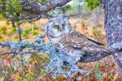 Tengmalm`s owl near nest. Bird of Minerva. Tengmalm`s owl Aegolius funereus near nest. Boreal coniferous forest taiga, on background of Labrador tea, cranberries Stock Photography