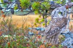 Tengmalm`s owl near nest. Tengmalm`s owl Aegolius funereus near nest. Protection of offspring and aggressive behavior. Boreal coniferous forest taiga Royalty Free Stock Photography