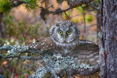 Tengmalm`s owl is typical inhabitant of taiga Royalty Free Stock Photo