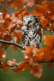 Tengmalm`s Owl - Aegolius funereus Royalty Free Stock Photo