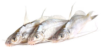 Tengra fish of Bangladesh Stock Photo