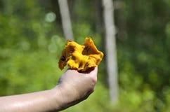 Tenir le champignon de chanterelle Photos libres de droits