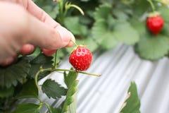 Tenir le fond de fraise Images libres de droits