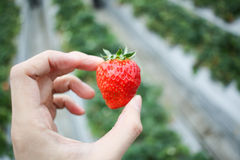 Tenir le fond de fraise Photo libre de droits