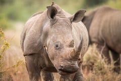 Tenir le premier rôle le rhinocéros blanc avec des oxpeckers dans le Kruger photo libre de droits