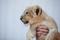 Tenir un petit petit animal de lion Photos libres de droits