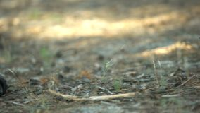 Tenisówka kuje łgarską pobliską zwłoki, ciało zakrywający z gałąź, morderstwo w drewnach zbiory wideo