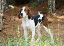 Tennesee Treeing步行者猎浣熊的猎犬 免版税库存照片