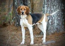 Tennesee Treeing步行者猎浣熊的猎犬 免版税库存图片