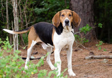 Tennesee Treeing Walker Coonhound foto de stock