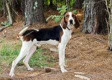 Tennesee Treeing Walker Coonhound fotos de stock