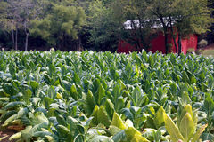 Tennessee Cash Crop Tobacco Royalty Free Stock Image