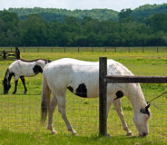 Tennessee Paints. A photograph of two paint horses grazing in a Tennessee meadow of buttercups Royalty Free Stock Photo