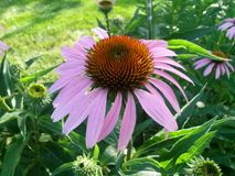 Tennessee Pink Garden Flower. Taken summer of 2014 somewhere in Knoxville Stock Image
