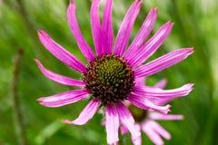 Tennessee Purple Coneflower und seine dünne Blumenblatt-Blüte Stockbilder