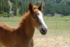 Tennessee Walking Horse royalty-vrije stock fotografie