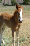 Tennessee Walking Horse stock foto