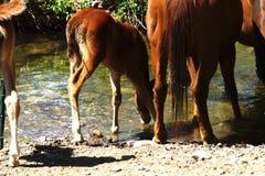 Tennessee Walking Horse royalty-vrije stock foto