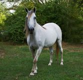 Tennessee Walking Horse Arkivfoton