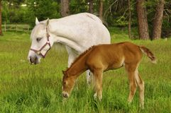 Tennessee Walking Horse ou Tennessee Walker Colt fotos de stock royalty free