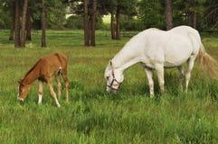 Tennessee Walking Horse ou Tennessee Walker Colt imagens de stock