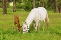 Tennessee Walking Horse of Tennessee Walker Colt royalty-vrije stock afbeelding