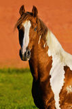 The tennessee walking paint horse. Tennessee walking paint horse portrait Royalty Free Stock Photography