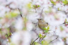 Tennessee Warbler en Cherry Blossoms Imagen de archivo libre de regalías