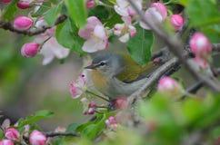 Tennessee Warbler fra i fiori della mela immagine stock libera da diritti