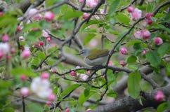 Tennessee Warbler fra i fiori della mela fotografie stock