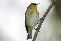 Tennessee Warbler perched. A Tennessee Warbler perched high up in a tree Royalty Free Stock Images