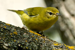 Tennessee Warbler. Perched on a thick branch Stock Photos