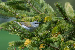 Tennessee Warbler Royalty Free Stock Images