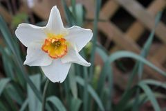 Tennessee White Daffodil Flower stock foto's