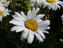 Tennessee White and Yellow Garden Flower. Tennessee  White and Yellow Garden Flower Royalty Free Stock Image