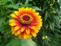 Tennessee yellow Garden Flower. Taken in summer of 2014 somewhere in North Knoxville Royalty Free Stock Photography