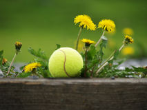 Tennis ball in the dandelion flowers (36). Tennis ball in flowering dandelions with green background Royalty Free Stock Photos