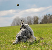 Tennis ball and dog. Dog chases the tennis ball. Collie rough stock photography