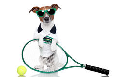 Tennis dog. With racket and glasses Stock Images