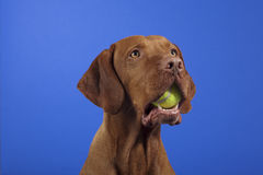 Tennisball in dogs mouth Royalty Free Stock Photos