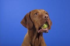 Tennisball na boca dos cães Fotos de Stock Royalty Free