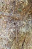 Tenodera Pinapavonis камуфлирование Стоковые Изображения RF