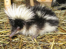 Tenrec Royalty Free Stock Images