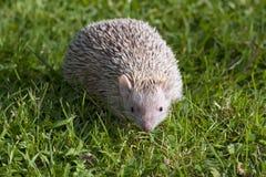 Tenrec Lesser Hedghog che cammina sull'erba Fotografie Stock