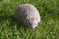 Tenrec Lesser Hedghog, der auf Gras geht stockfotos